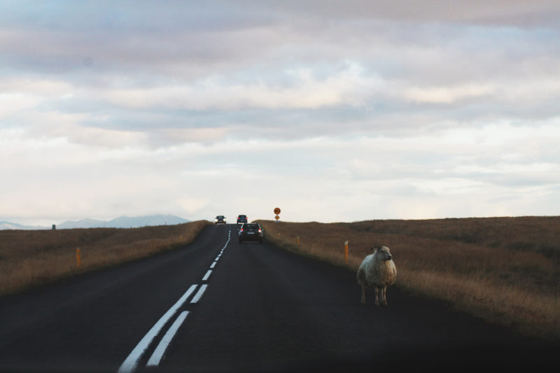 iceland road; sofia podestà; iceland; agoraphobia; sofiapodesta; agorafobia; podestasofia; sofia; podestà; sofia islanda; fotografie islanda; iceland; adventure; sofia podestà; agoraphobia; sheep; nature; adventures; on the road
